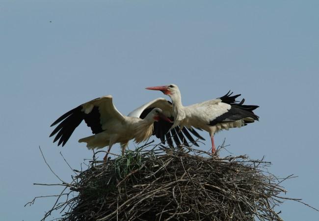 SCHEDA: Cicogna bianca (Ciconia ciconia)