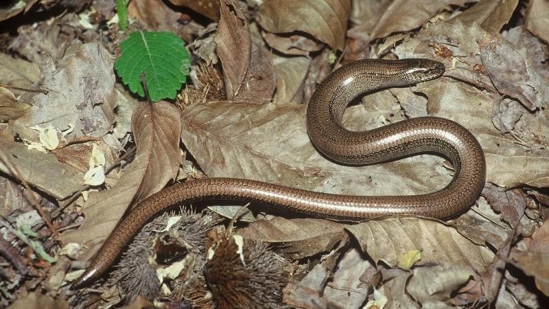 SCHEDA: Orbettino (Anguis fragilis)