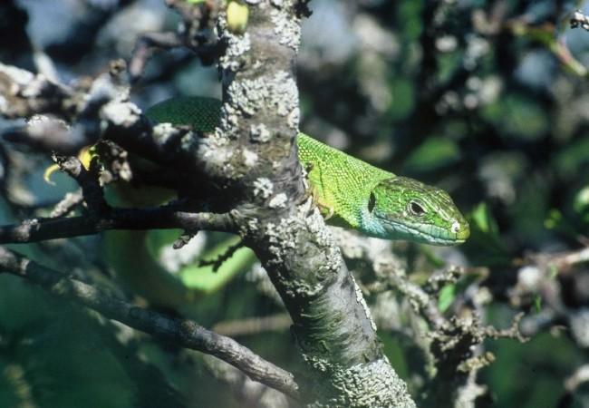 SCHEDA: Ramarro occidentale (Lacerta bilineata)