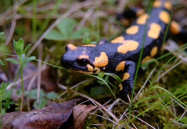 SCHEDA: Salamandra pezzata (Salamandra salamandra)