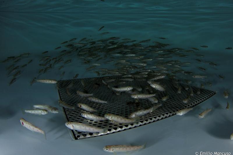 Incubatoio ittico e vasche di allevamento parco ticino for Vasche per allevamento ittico