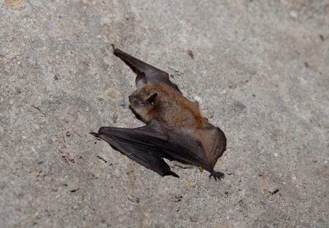 SCHEDA: Vespertilio Smarginato (Myotis emarginatus)