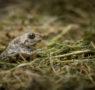 Quale futuro per il Pelobate fosco? Dal Parco del Ticino una nuova prospettiva per la sua conservazione